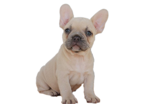 shady grove acres french bulldog puppies for sale