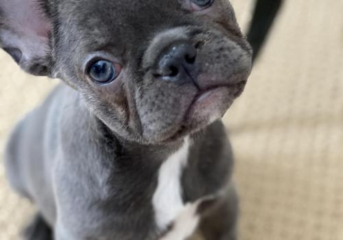 Our sweet Cookie, blue Frenchie ❤️